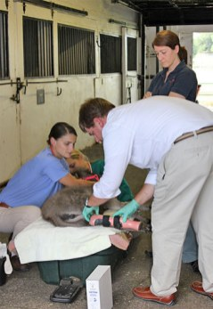 Emma's caregivers change her bandage and adjust her prosthesis regularly as healing of the surgical site continues.