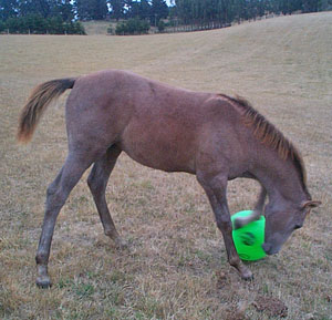 Let's play ball! Toys such as horse balls are being sought to help entertain feral ponies from Bodmin Moor.