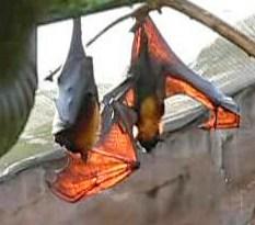 A large flying fox (Pteropus vampyrus)