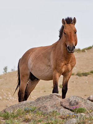 A Przewalski's Horse: Today's domesticated horses are far removed from their wild cousins.