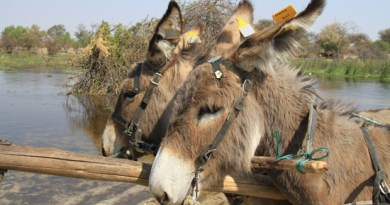 Two donkeys at work sporting their new reflective tags.
