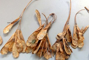 Box elder seeds.