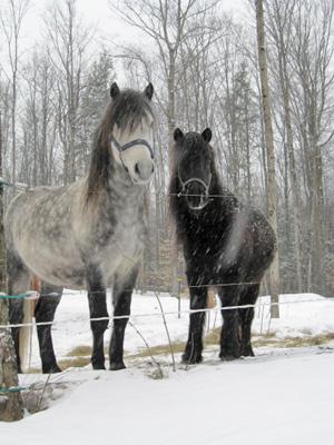 Newfoundland ponies Wonder and Skipper.
