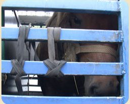 Horses bound for slaughter.