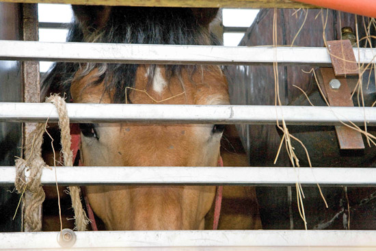 Horses continue to suffer pain, dehydration and disease during long-distance transportation across Europe to slaughter, World Horse Welfare says.
