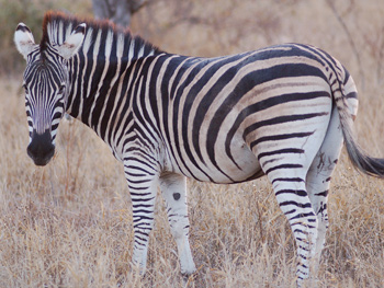 Fences which had prevented the zebra from migrating since 1968 were removed in 2004.