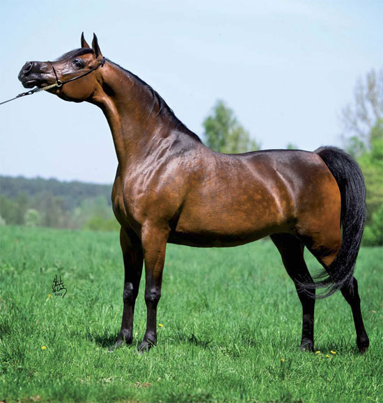 Charlie and Shirley Watts bought Belgica for €400,000 at the 2013 Pride of Poland arabian horse sale.