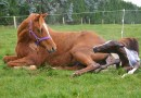 Jury still out on bacterium's possible role in equine abortions