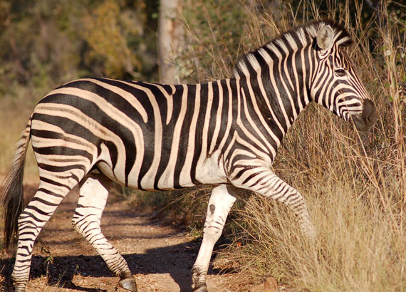 A zebra in its natural habitat.