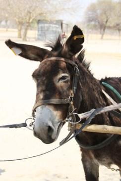 donkey-tags-botswana-3
