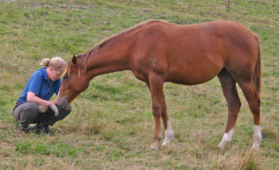 An important element influencing how horses react to humans is the relationship they have established with them.