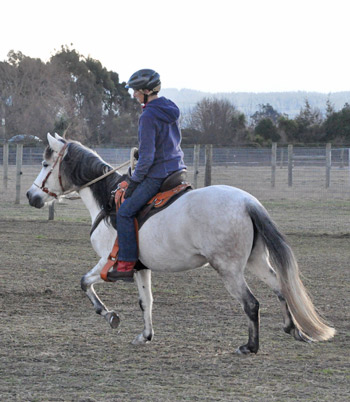 Paso Fino mare Pixie. The breed is said to be so smooth a ride that the rider can have a glass of wine in their hand without spilling it, Dr Andersson said.