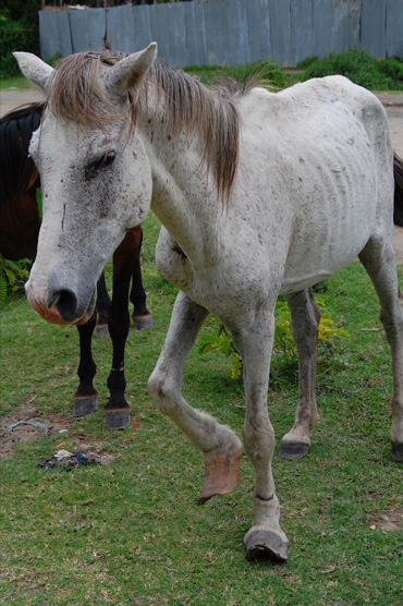 A horse with overgrown hooves in Ethiopia. Poor hoof care is a serious welfare issue in Africa, SPANA says. Photo: SPANA