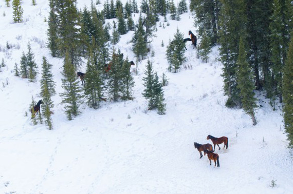 Wild horses observed during the aerial count in Alberta's foothills in April. Photo: Alberta Environment and Sustainable Resource Development
