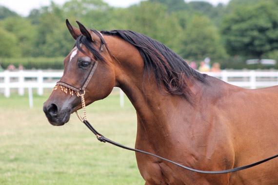Arabian Horse Society National Championships