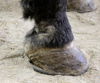 Dutch's right front pastern.