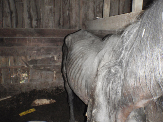 Danny B was found in emaciated condition, the judge said. Photo: RNZSPCA
