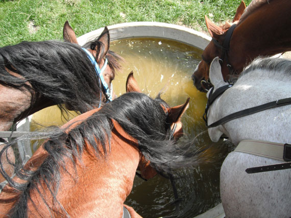When dehydrated horses won't drink and it's not possible to administer IV fluids, a rectal enema may be an option.
