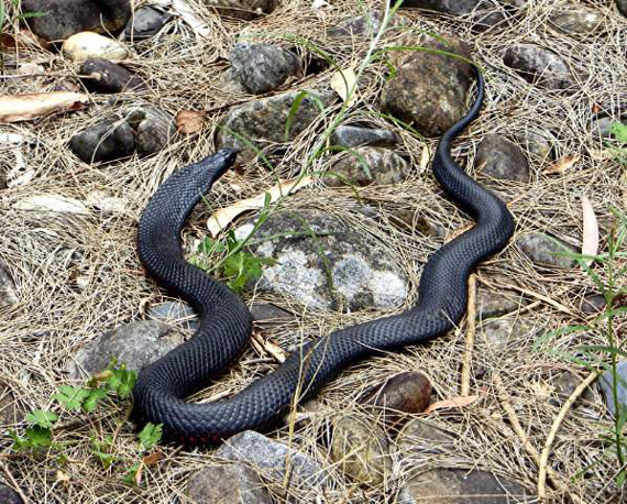 A red-bellied black snake near the Kowmung River in New South Wales. Photo: Byron Rigby/Wikipedia