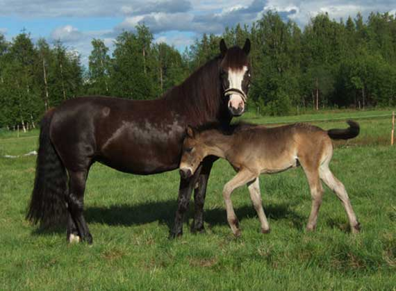 A Scandinavian cold-blooded trotter with her foal. Photo: Mrssparrow/Wikipedia