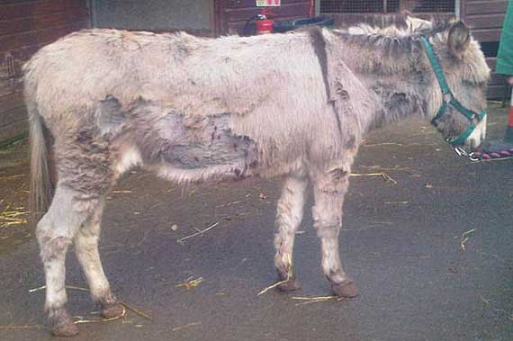 Cheeky the donkey is recovering after suffering 12 puncture wounds.