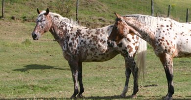 Leopard coat patterns in horses have gone in and out of popularity throughout the ages, new research suggests.