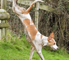A Cattistock Hunt hound in action. Image: Supplied