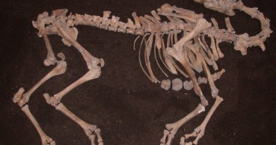 The camel skeleton was unearthed near the river Danube in Tulln, Lower Austria. Photo: Alfred Galik/Vetmeduni Vienna