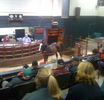 A horse going through the Olex Auction in Toronto, Canada.