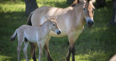 One of the four Przewalski's horse foals born in June and July at The Wilds.