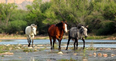 The Salt River wild horses can regularly be seen wading into the water to graze on aquatic grasses. Photo: Salt River Wild Horse Management Group