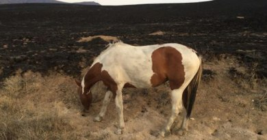 A lone horse grazes on a small patch of vegetation within the Hardtrigger herd management area. Photo: BLM