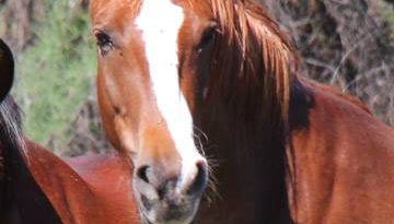 A picture of Dotty released by the Salt River Wild Horse Management Group.
