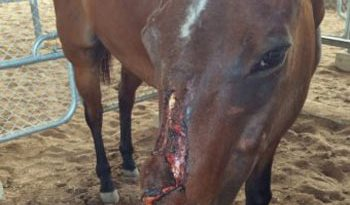 Macca's nasty facial injury has sparked a police investigation. Photo: Northern Territory Police