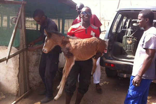 A young equine patient heads into the Gambia Horse and Donkey Trust's clinic for care.