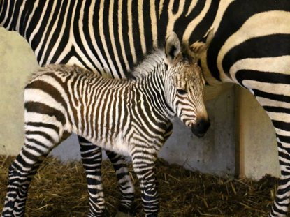 Blackpool Zoo's new Hartmann's zebra foal.