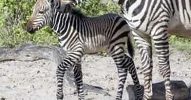 Grevy's Zebra foal Penda was born at Lowry Park Zoo on November 23.