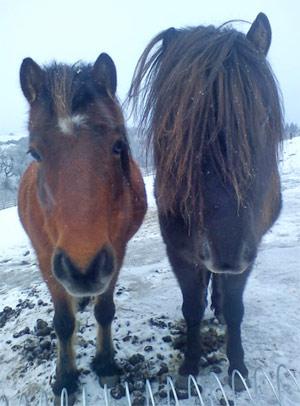 Skyrian horses in Scotland.