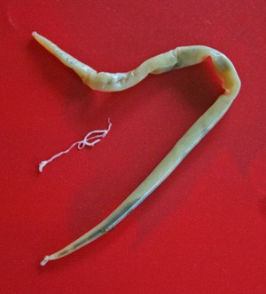 The large roundworm Parascaris equorum.