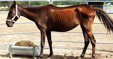 One of the horses seized in the operation. Photo: RSPCA Victoria