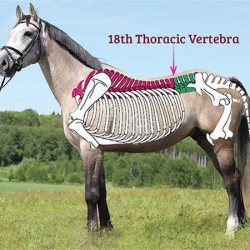 The saddle should sit in your horse's saddle support area, with the tree points behind the shoulder, and no further back than the 18th thoracic vertebrae. ©CanStockPhoto/Zuzule