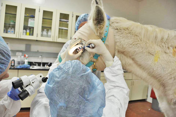 Dr. Nikki Scherrer, Ophthalmology Resident at Penn Vet's New Bolton Center, performs a procedure on the ulcer in Lily's left eye.