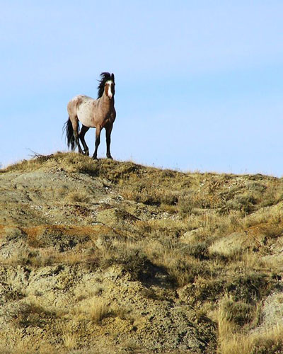 Wild horses typically form bands of six to 10 mares and one stallion. Photo: Marlylu Weber, North Dakota Badlands Horse Registry