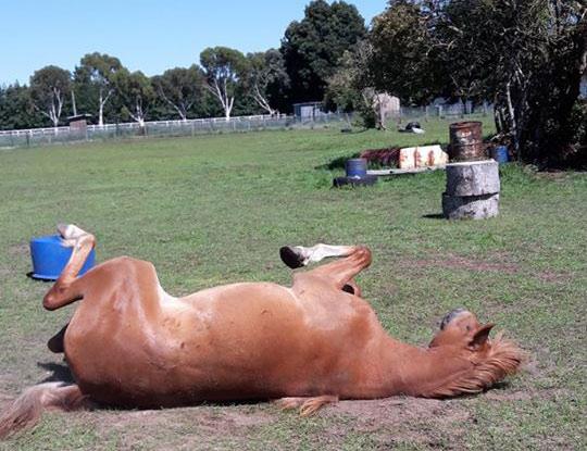 One of Jill Dickie's Kaimanawa horses.
