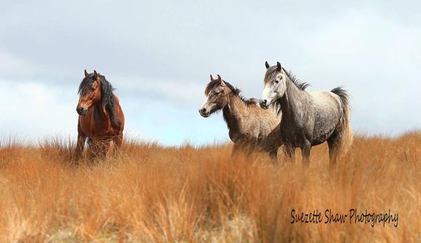 Kaimanawa horses on the ranges.