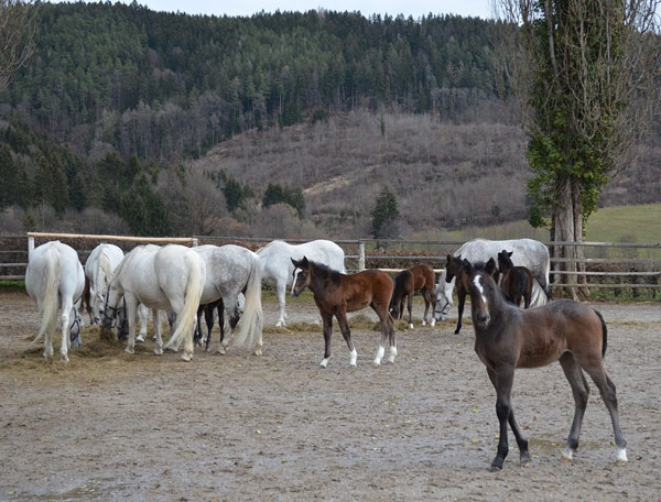 Lipizzaner mares and foals at Piber.