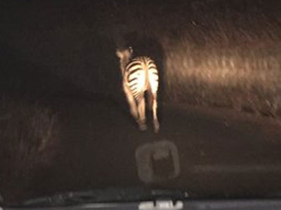 The zebra on the loose the night before its capture. Photo: @mihochuqn/Twitter