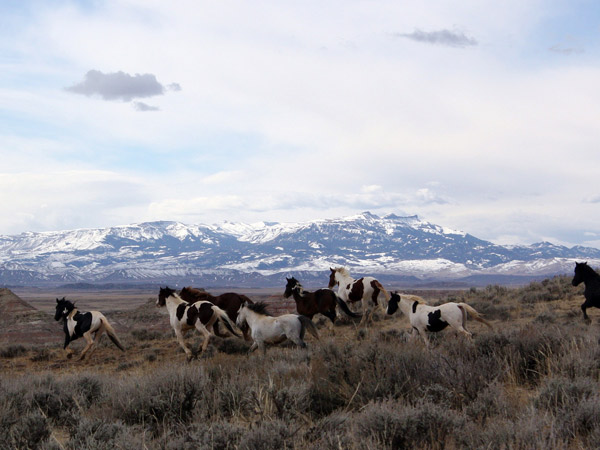 Wild horses in the BLM's  McCullough Peaks herd management area.
