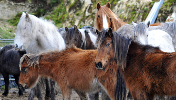 Ponies from Bodmin Moor, now with Redwings from a previous operation.