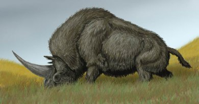 An artist's impression of Elasmotherium sibiricum. Photo: DiBgd via Wikipedia, CC-BY-SA-3.0 via Wikimedia Commons